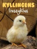 Kyllingens livssyklus